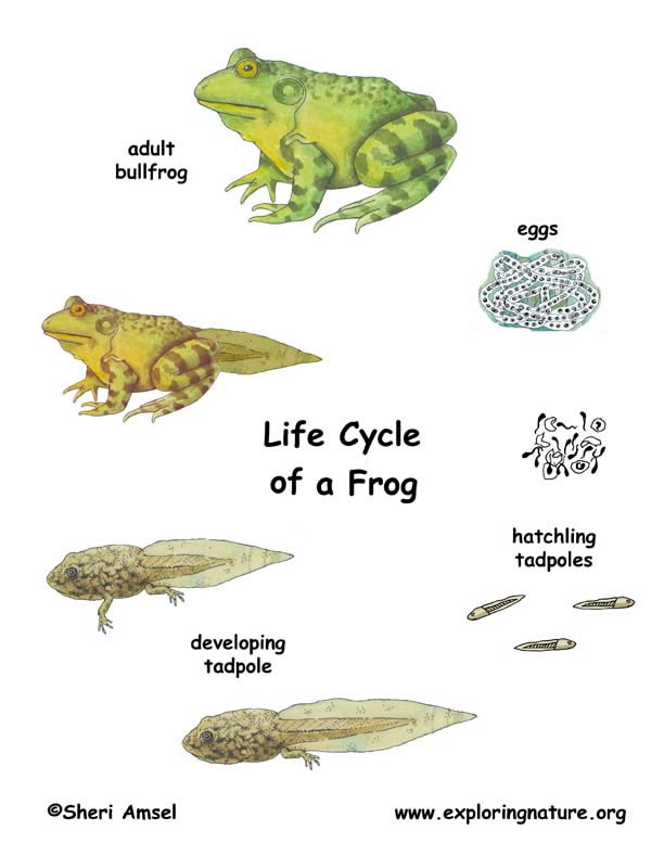 612x789 Frog Life Cycle Books For Kids Frog Life Cycles, Frogs And Cycling