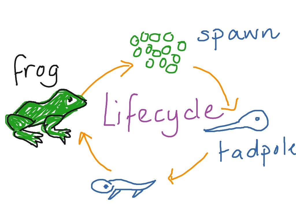 1024x768 Frog Lifecycle Biology, Science, Animals, Water, Life Cycle Showme