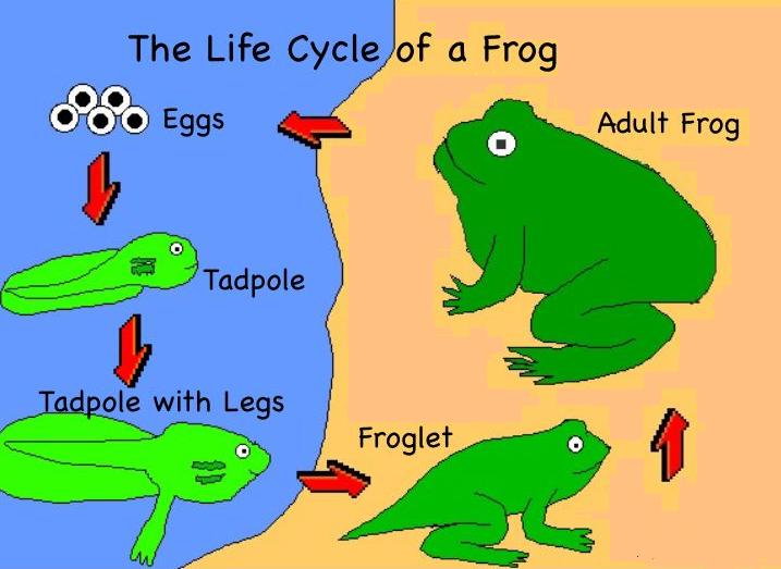 717x523 Scienceatscene From Egg To Frog