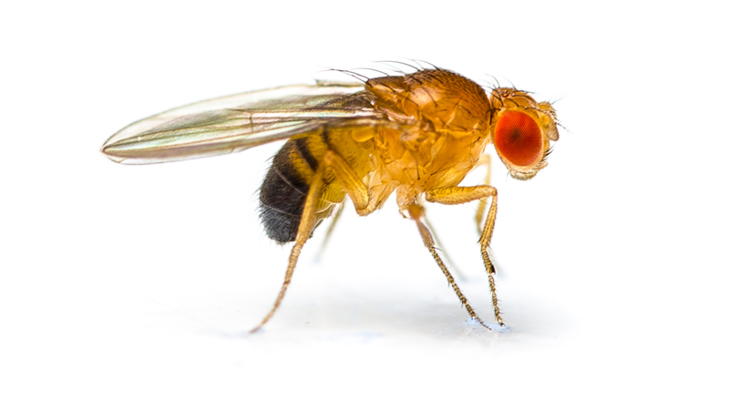 800x439 Fruit Fly Microrna Research Offers Clues To Aging Process