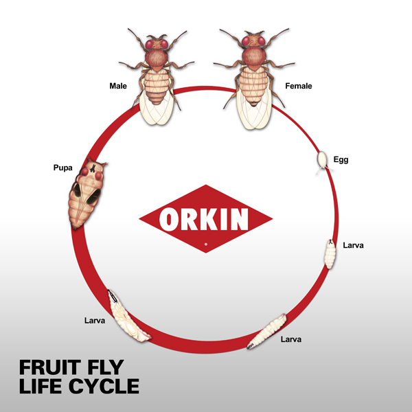 600x600 Life Span Amp Life Cycle Of Fruit Fly