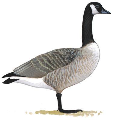 378x400 Brant Audubon Field Guide