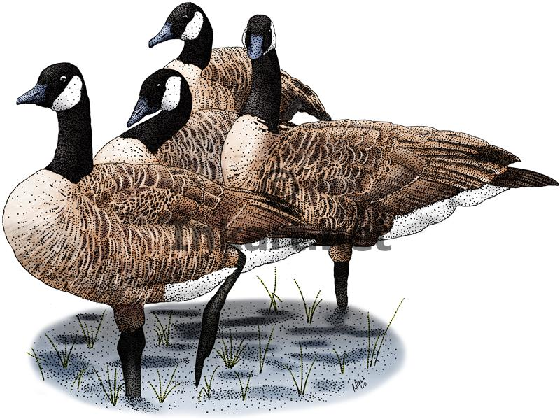 800x599 Canada Geese (Branta Canadensis) Line Art And Full Color