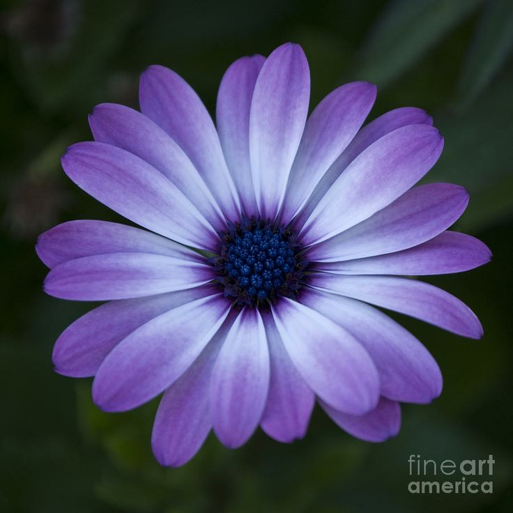 The Best Free Gerbera Drawing Images Download From 78 Free