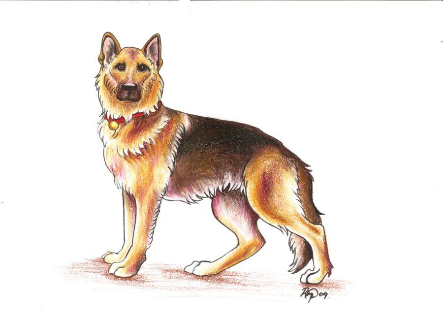 900x654 German Shepherd Drawing By Bexyboo16