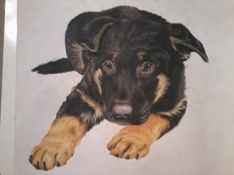 900x675 German Shepherd Puppy By Drawingmaster1