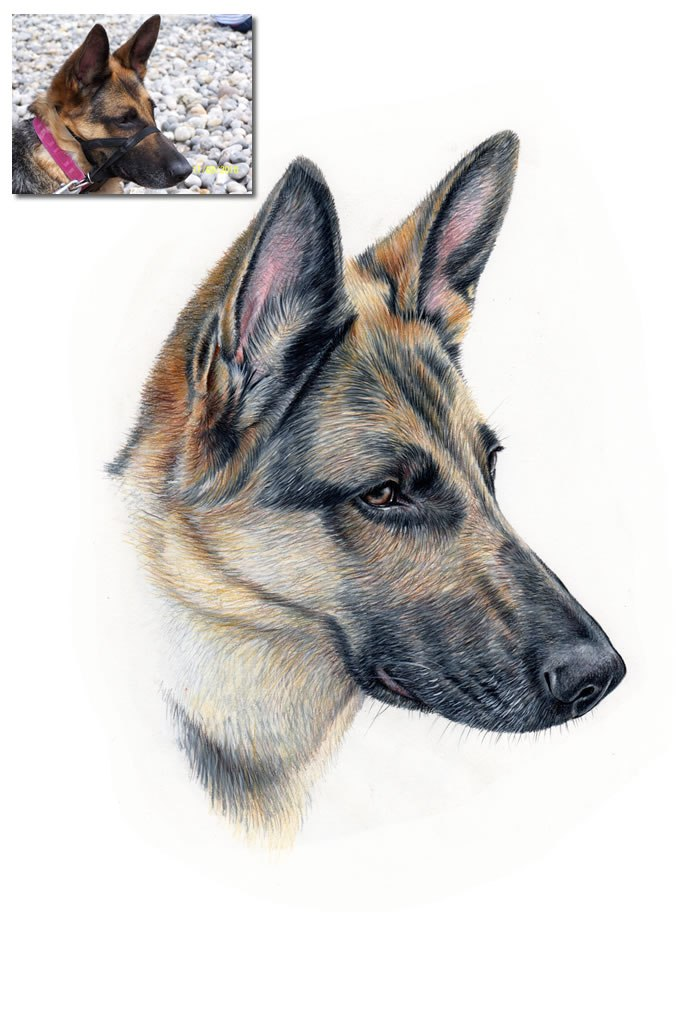 698x1009 German Shepherd Drawing Commission Hand Drawn Portraits