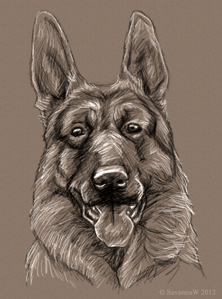 772x1036 German Shepherd Sketch By Savannaw