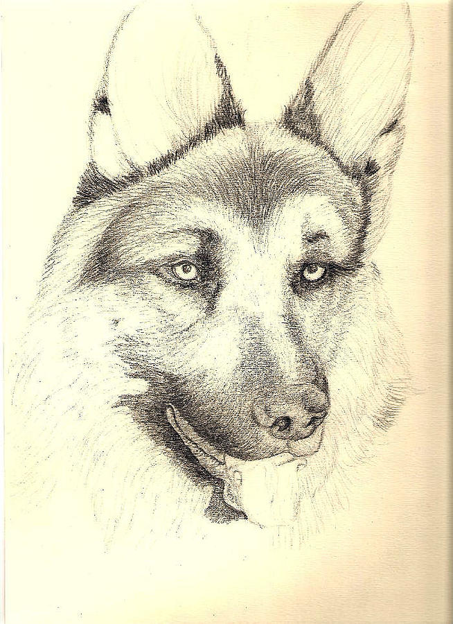 654x900 German Shepherd Head Drawing By Joy Reese