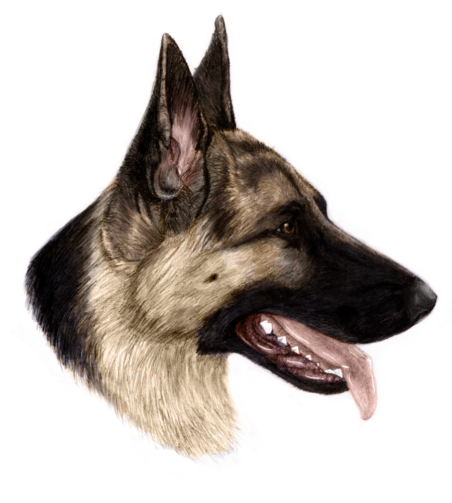 900x1002 Shepherd Portrait By Theunseelie
