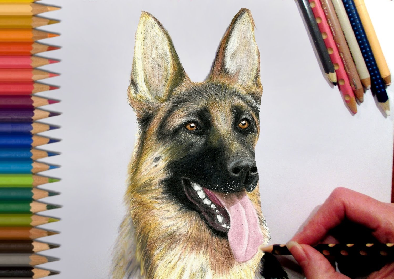1500x1065 Drawing German Shepherd In Colored Pencil