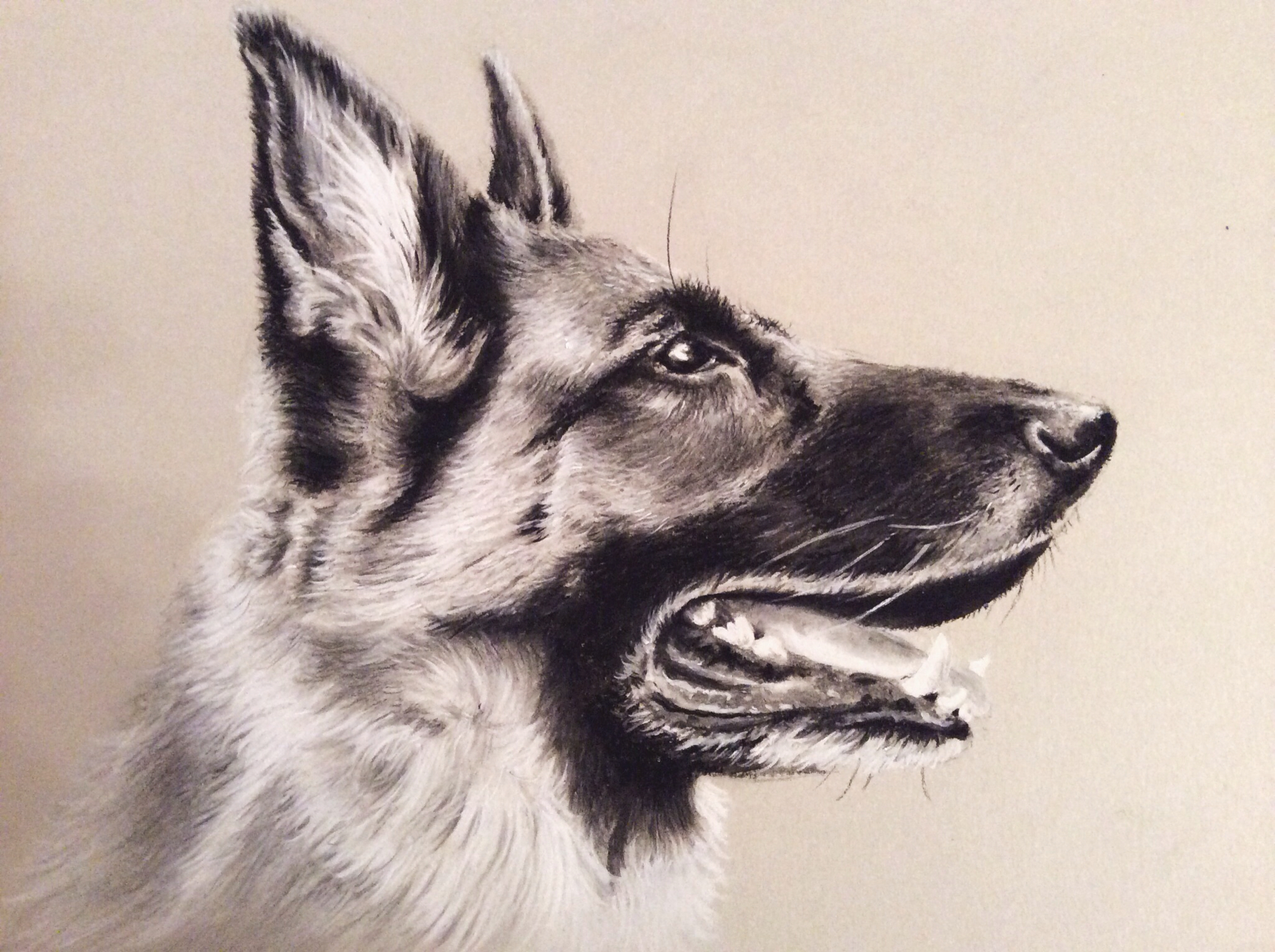 2048x1529 German Shepherd Pencil Drawing Drawn German Shepherd Charcoal