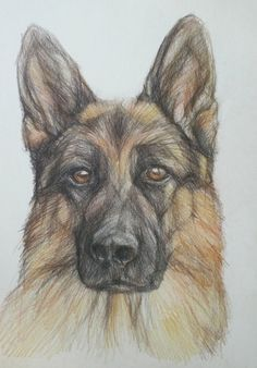 236x338 Original Pencil Drawing German Shepherd Giclee Prints Available