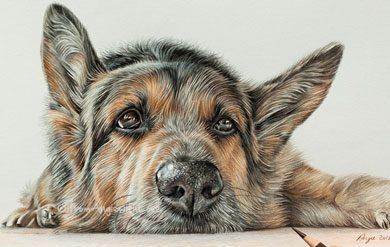 390x247 Pencil Portrait Artist German Shepherd Pencil Portraits