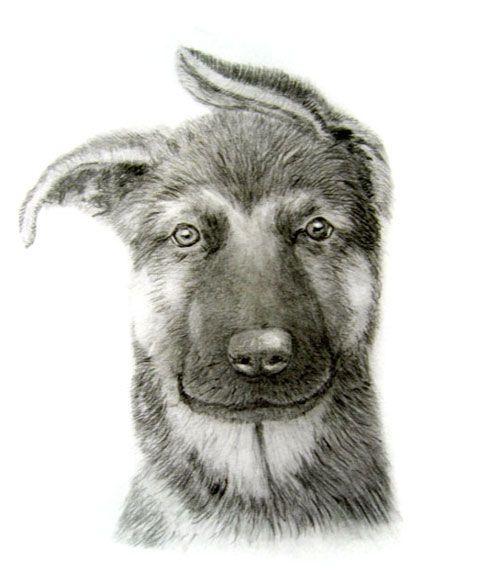 500x583 German Shepherd Puppy Dog Pencil Drawing My Doggy Drawings