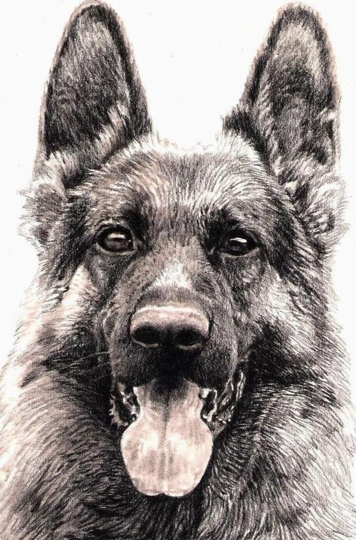 500x758 Richard Symonds Art Drawing Pencil German Shepherd Art