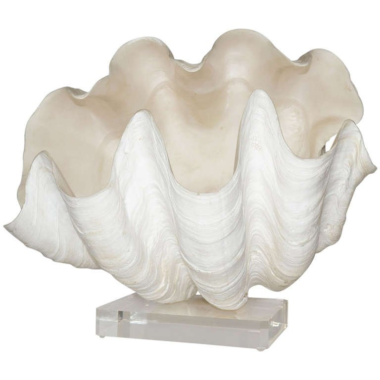 768x768 Complete Giant Clam Shell Specimen For Sale