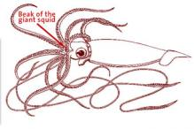 219x146 In Search Giant Squid Exhibits Yale Peabody Museum