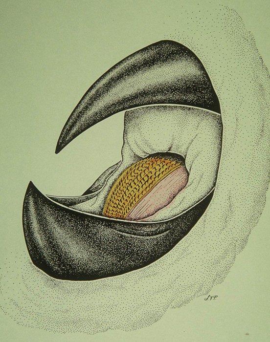552x700 Inside The Giant Squid's Sharp Beak Is A Tongue Like Organ Called