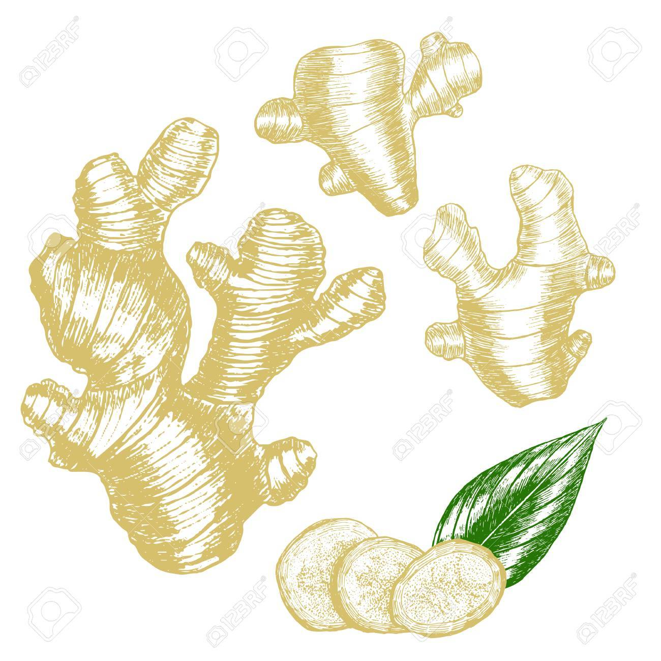 1300x1300 Ginger Hand Draw Sketch. Slices, Root And Leaves. Herbal Spice