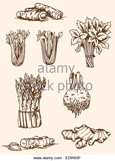 387x540 Ginger Root Drawing Stock Photos Amp Ginger Root Drawing Stock