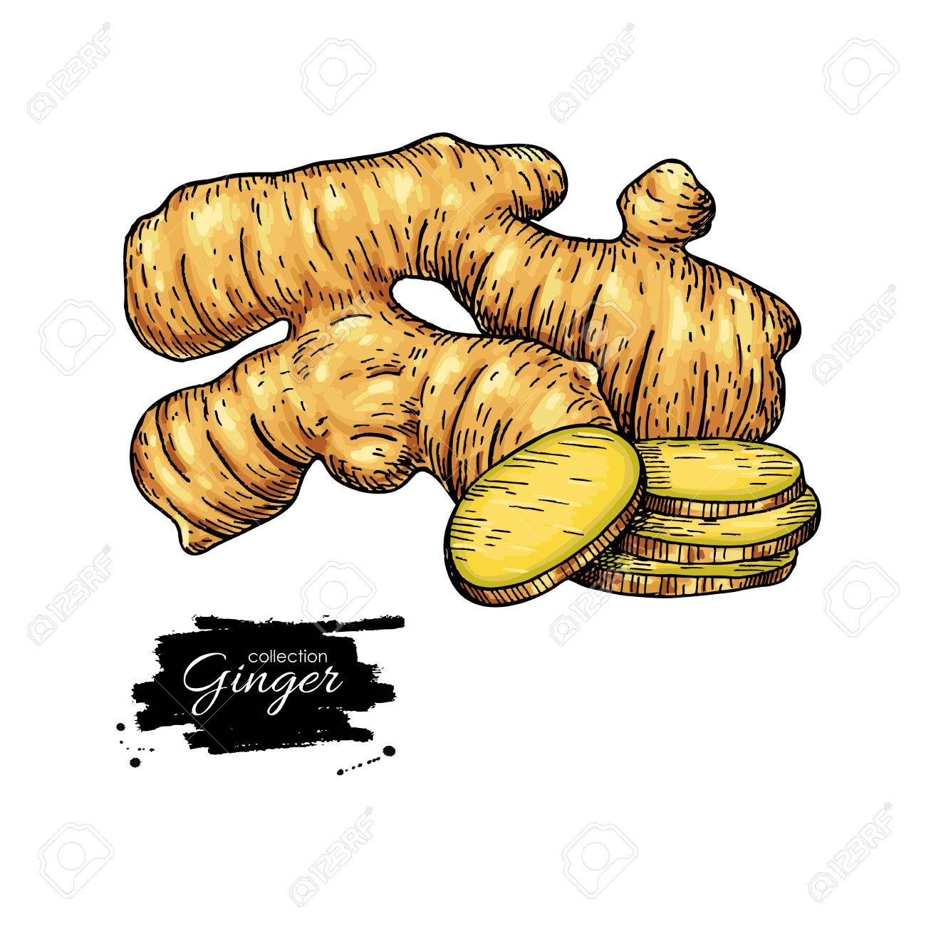 1300x1300 Ginger Root Vector Hand Drawn Illustration. Root And Sliced