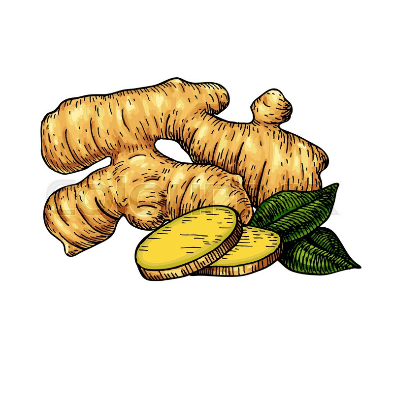 800x799 Ginger Root Vector Hand Drawn Illustration. Root And Sliced Pieces