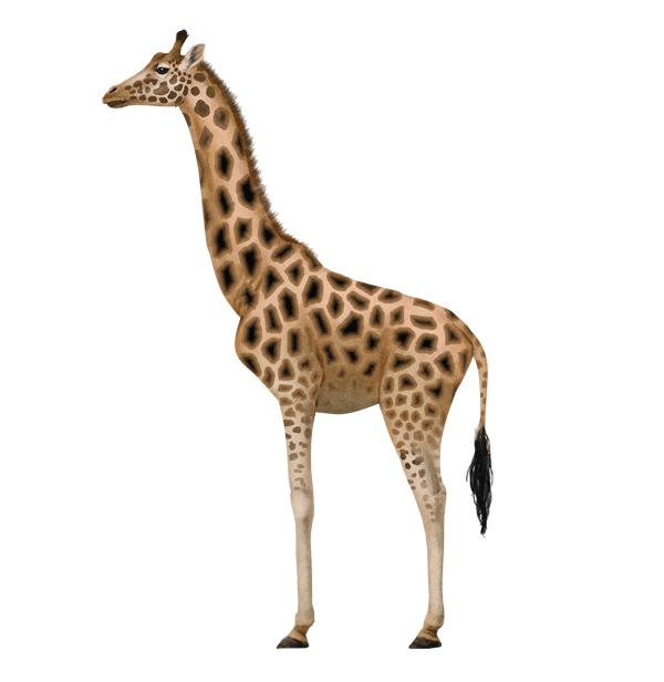 600x616 Draw Animals Zebras And Giraffes Tutorials Draw