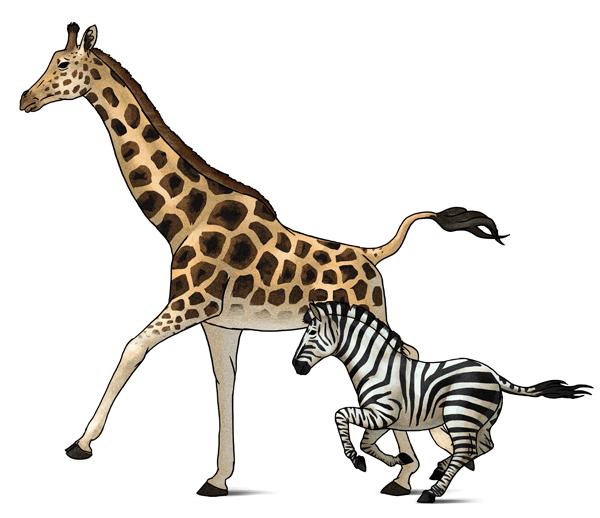 600x518 How To Draw Animals Zebras And Giraffes