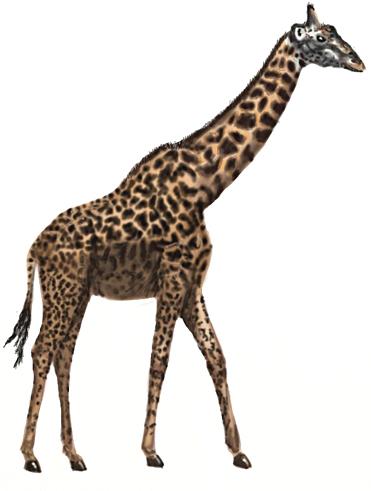 371x491 How To Draw A Giraffe
