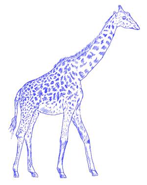 300x377 How To Draw A Giraffe