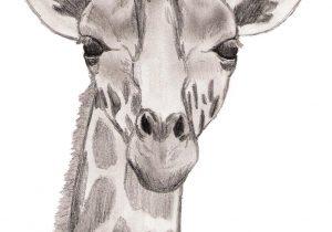 300x210 A Drawing Of A Giraffe How To Draw A Giraffe, Stepstep, Safari