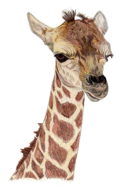 434x640 Pamela Stirling Artwork Baby Giraffe Original Drawing Pencil