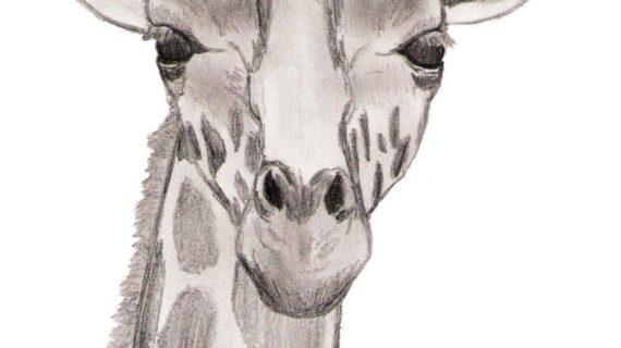 570x320 Giraffe Pencil Drawings Drawing Face Giraffe Criatividade Desenho