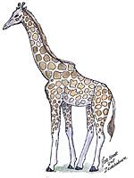 150x200 To Draw A Giraffe High Bandwidth