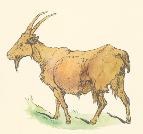 464x435 Brown Goat Drawing