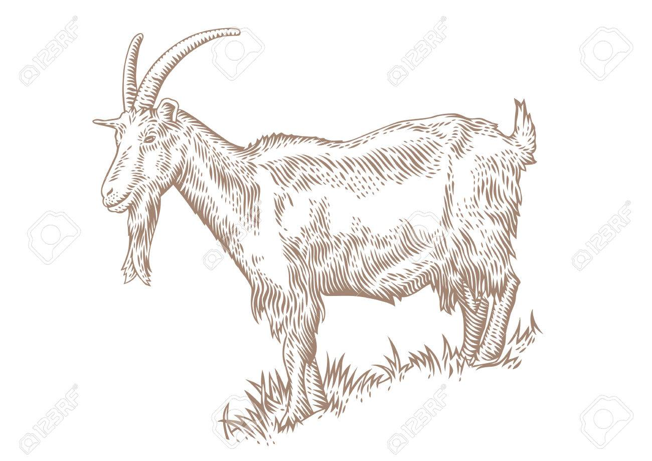 1300x919 Drawing Of White Horned Goat On The Hillside Covered With Green