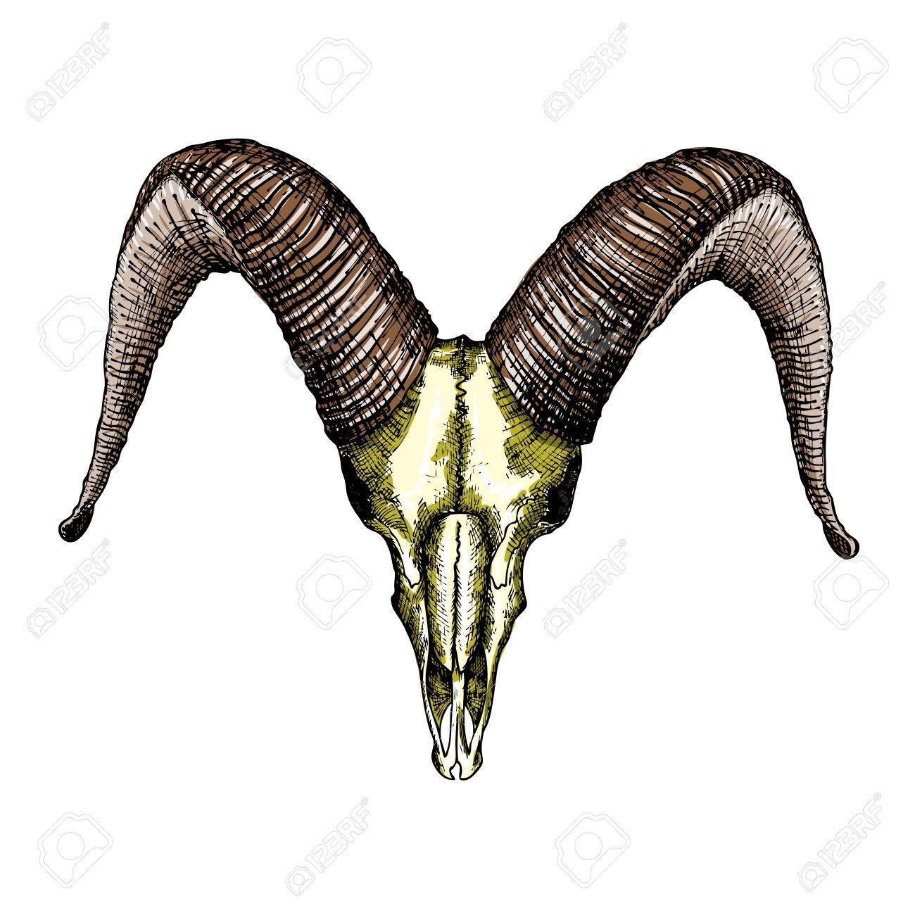 1300x1300 Goat Skull Hand Drawn, Isolated On White. Drawing Sketch