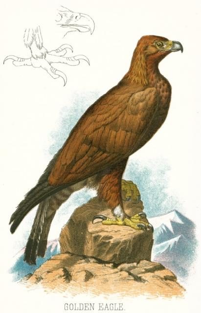 411x640 Filegolden Eagle Illustration.jpg