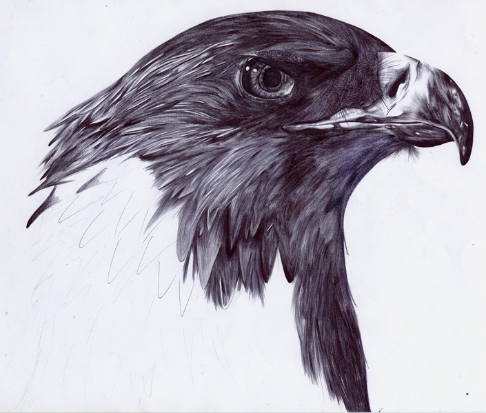 705x599 Pencil Drawings Of Eagles The Shading Is Pretty Bad