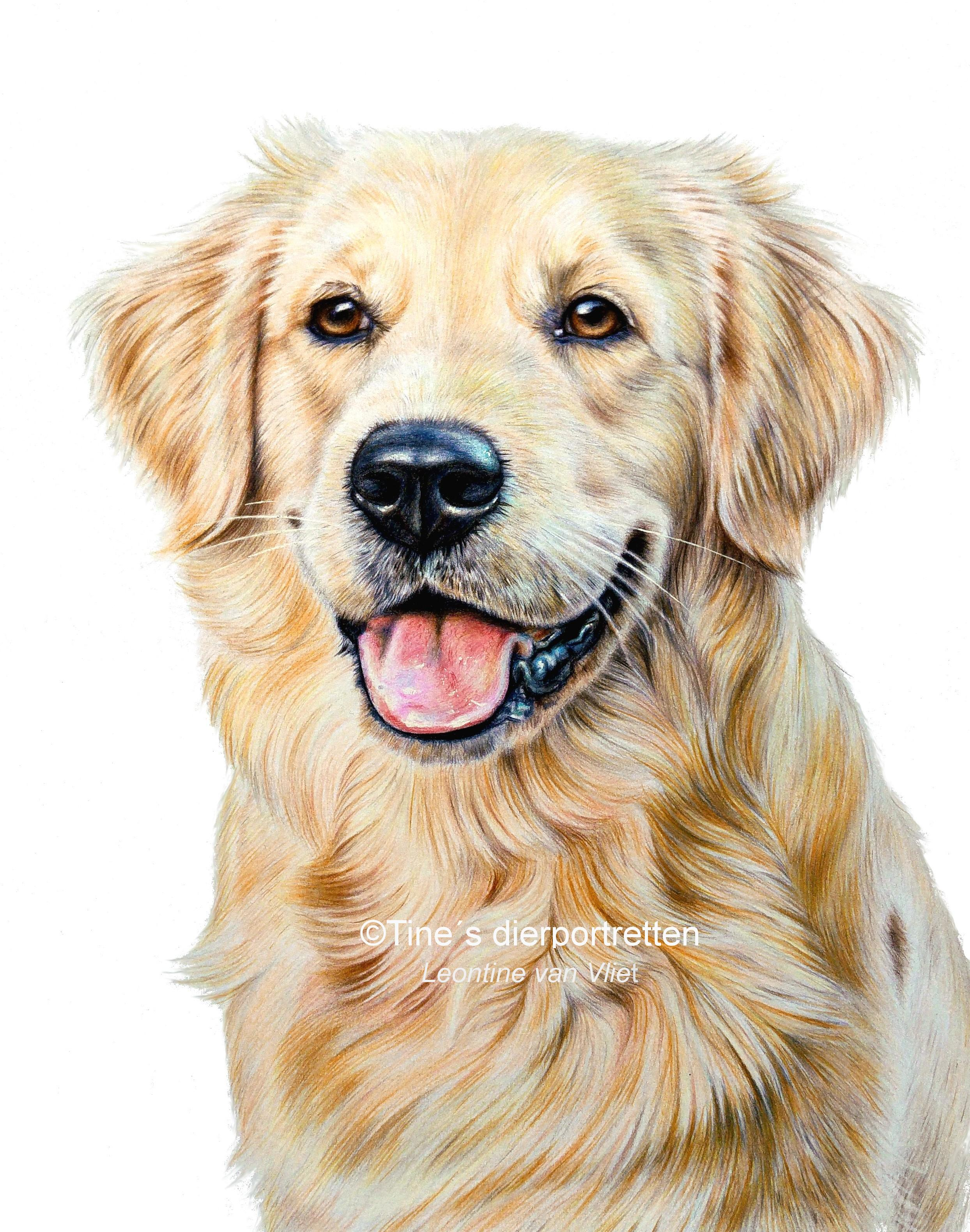 2488x3160 Golden Retriever In Colored Pencil Drawing