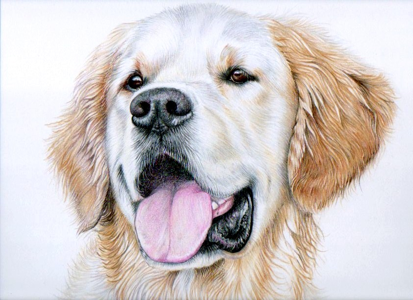 golden retriever pencil drawing at getdrawings com free for
