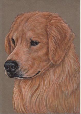 316x442 Golden Retriever Colored Pencil Portrait Annehierstudio