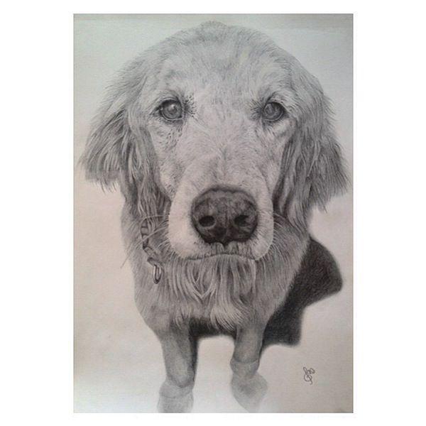600x600 Golden Retriever Pencil Sketch. Gave Birth Again To My Dog I Miss