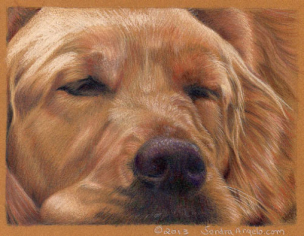 600x466 How To Draw A Golden Retriever With Colored Pencils