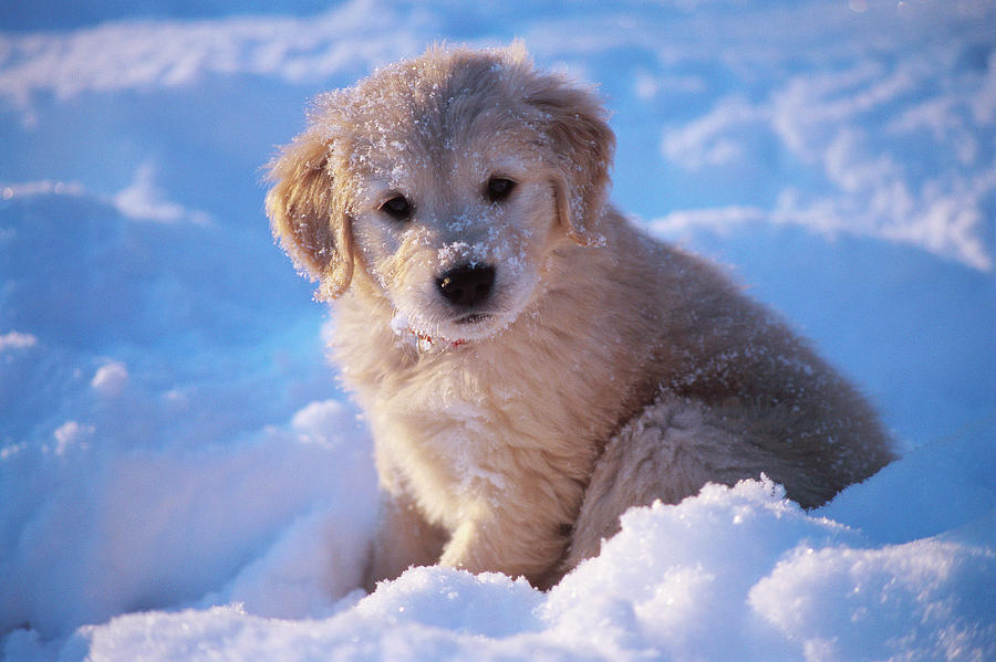 900x599 Golden Retriever Puppy Seated In Snow Photograph By Stan Fellerman