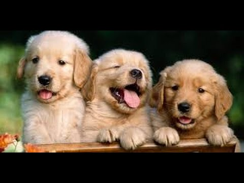 480x360 How To Draw Puppies Golden Retriever Gogoguo Doodles