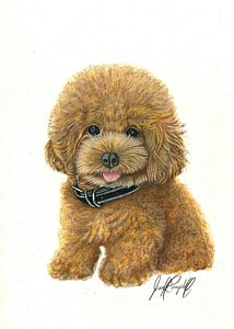 214x300 Goldendoodle Drawings Fine Art America