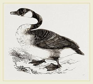 redbubble canada goose