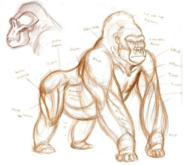 Gorilla Drawing at GetDrawings.com | Free for personal use Gorilla ...